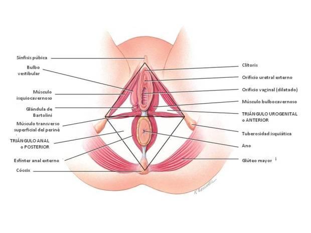 musculatura-superficial-del-perinc3a9